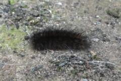 Diaphora mendica - Muslin moth, caterpillar Cusworth Lane, Doncaster
