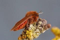 Phragmatobia fuliginosa - Ruby Tiger, Woodside Nurseries, Austerfield.