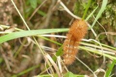 Ruby Tiger - Phragmatobia fuliginosa, Thorne Moor