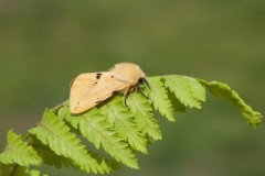 Spilosoma lutea - Buff Ermine, Woodside Nurseries, Austerfield.