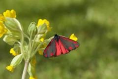 Tyria jacobaeae - Cinnabar, Woodside Nurseries, Austerfield.