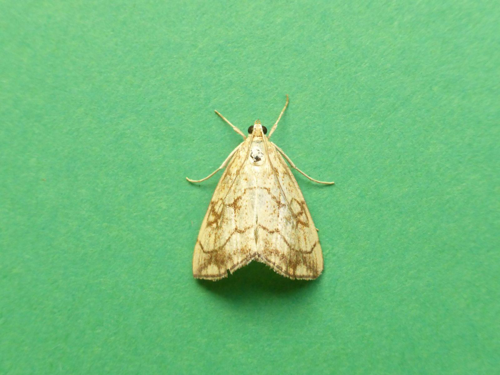 Evergestis pallidata - Kirk Smeaton