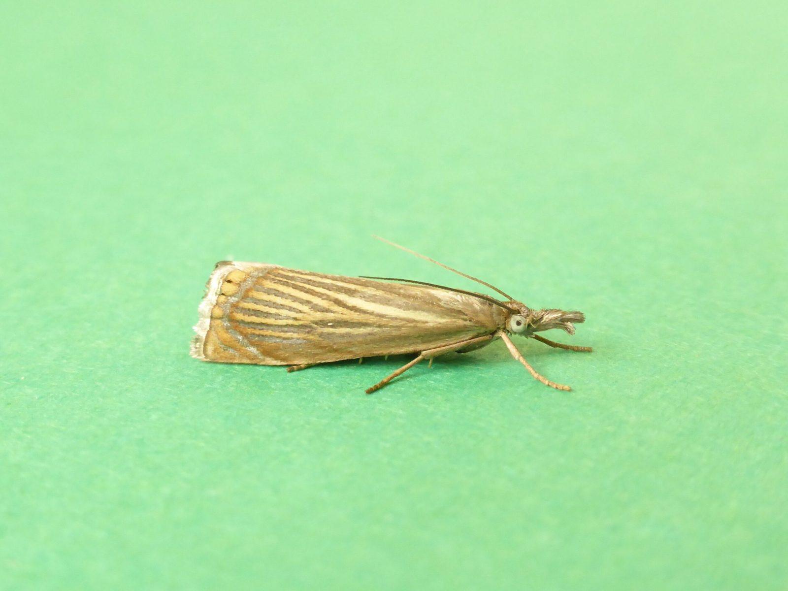 Chrysoteuchia culmella - Kirk Smeaton