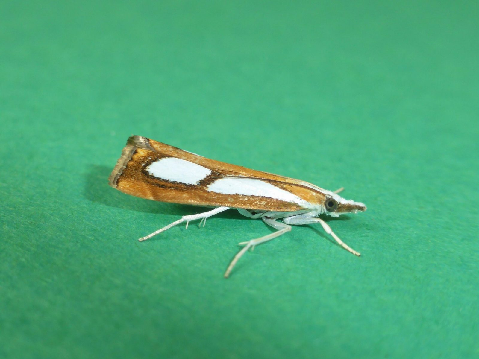 Catoptria pinella - Kirk Smeaton