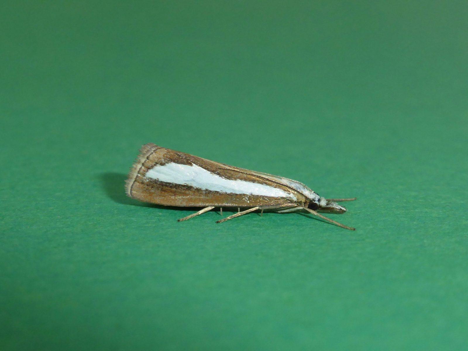 Catoptria margaritella - Kirk Smeaton