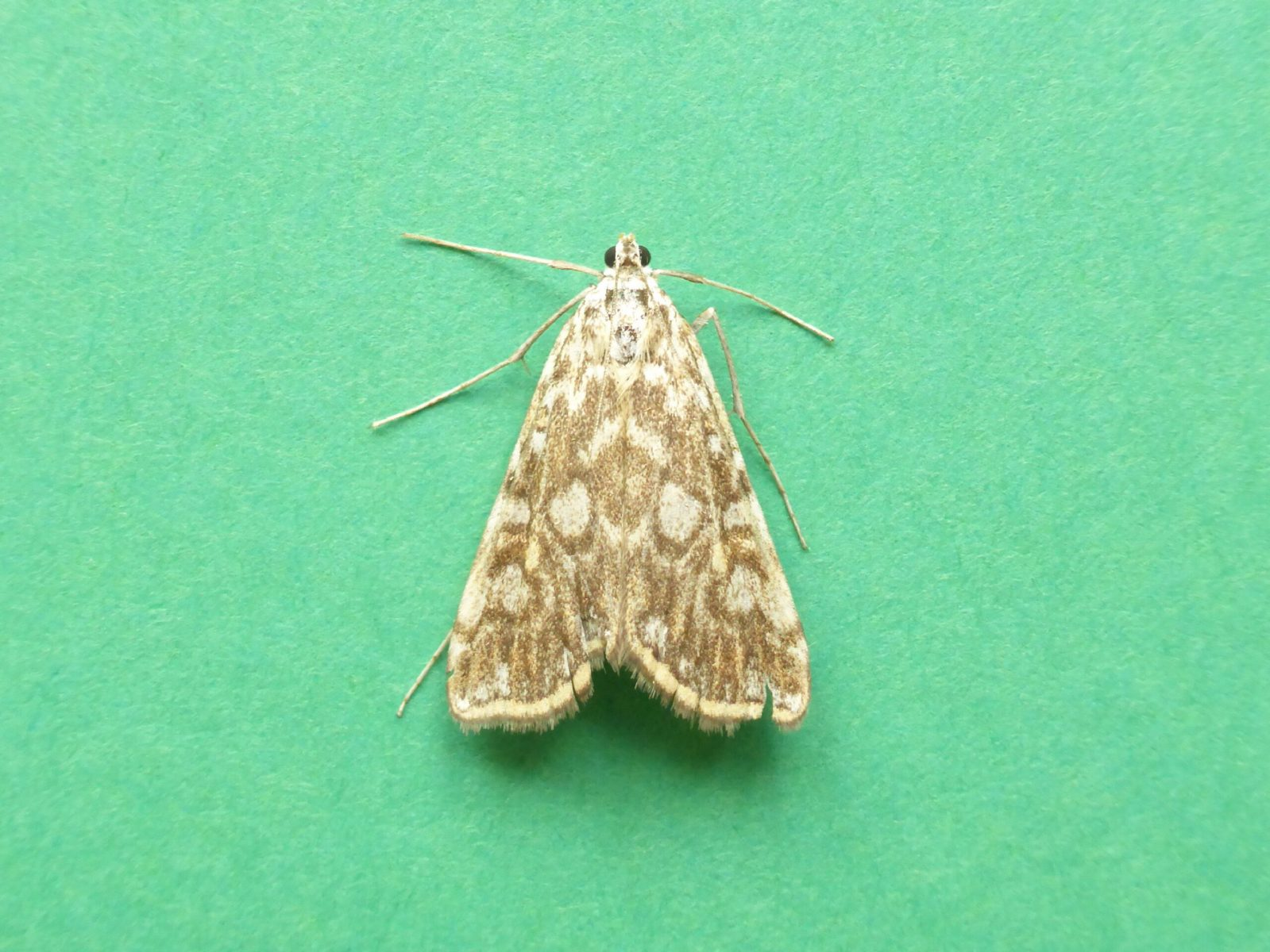 Elophila nymphaeata - Brown China-mark - Kirk Smeaton