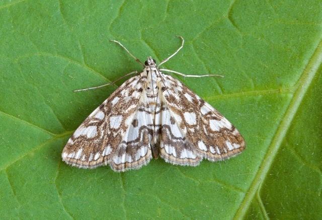 Elophila nymphaeata - Brown China-mark, Woodside Nurseries, Austerfield.