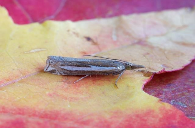 Crambus hamella, Woodside Nurseries, Austerfield.
