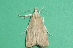 Calamotropha paludella - Kirk Smeaton