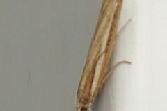 Agriphila tristella, Cusworth Lane, Doncaster