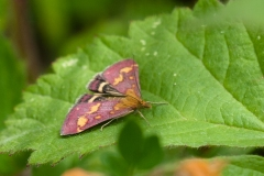 Pyrausta purpurlis, Bevercotes.