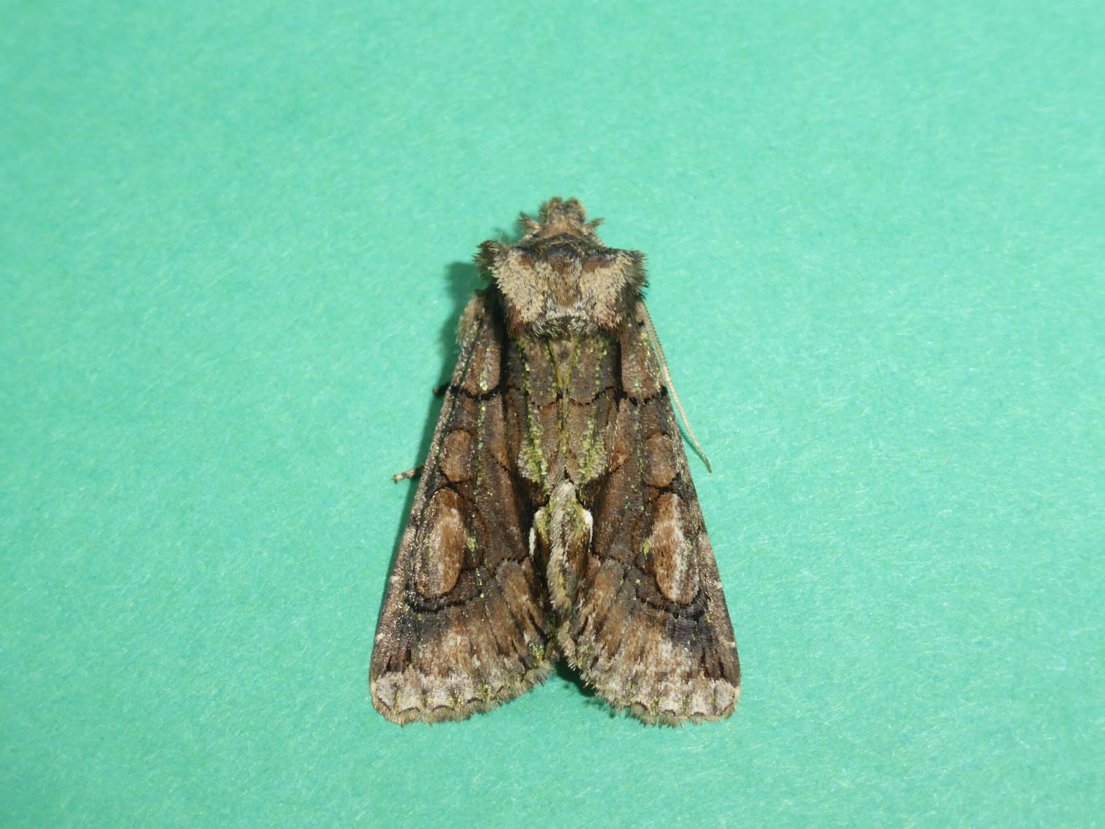 Allophyes oxyacanthae - Green-brindled Crescent, Kirk Smeaton
