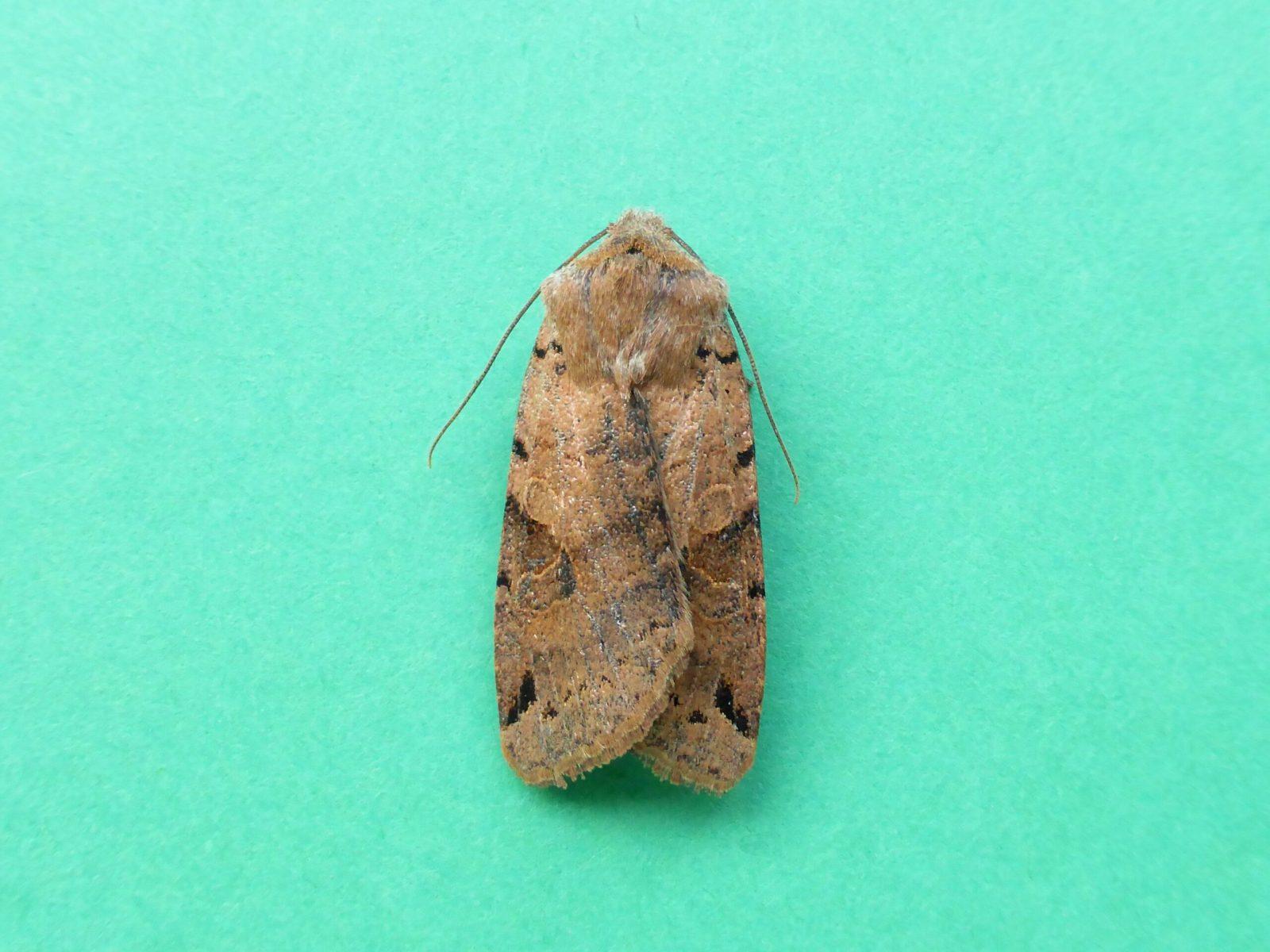 Agrochola litura - Brown-spot Pinion - Kirk Smeaton