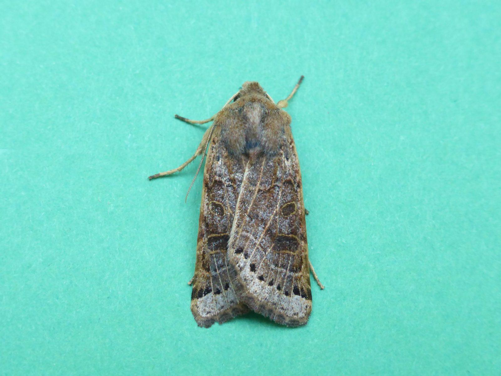 Omphaloscelis lunosa - Lunar Underwing - KIrk Smeaton