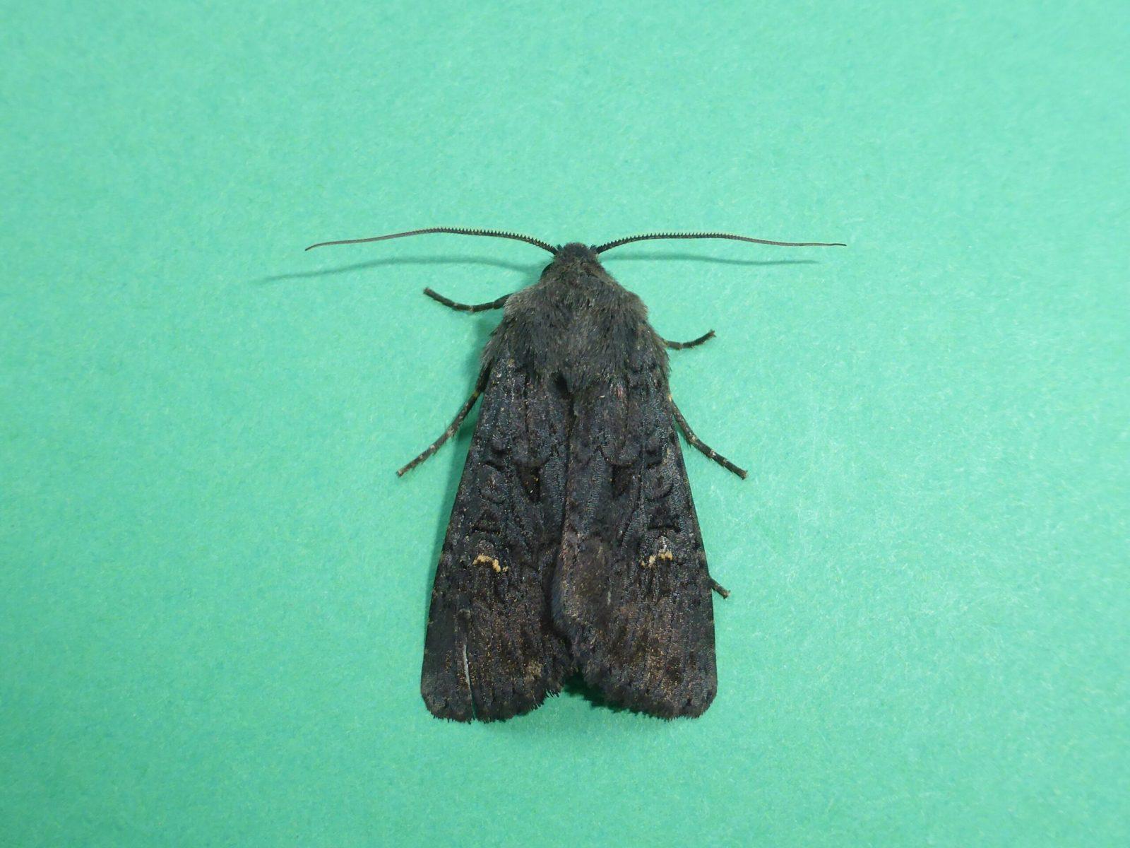 Aporophyla nigra -  Black Rustic, Kirk Smeaton