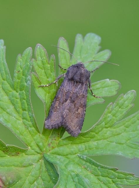 Aporophyla lutulenta - Deep-brown Dart, Austerfield.