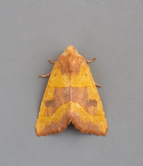 Atethmia centrago - Centre-barred Sallow, Austerfield.