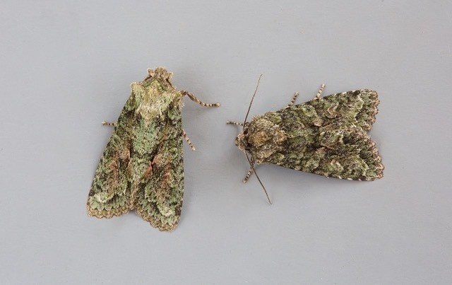 Dryobotodes eremita - Brindled Green, Austerfield.