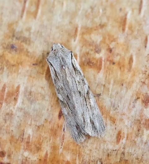 Lithophane leautieri - Blair's Shoulder-knot, Austerfield.
