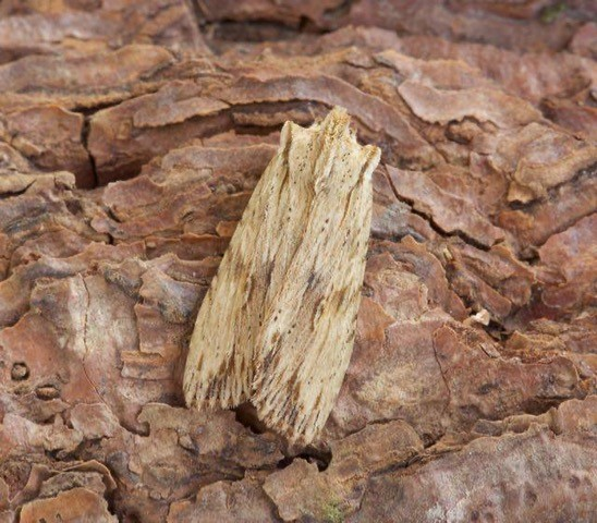Lithophane socia - Pale Pinion, Austerfield.