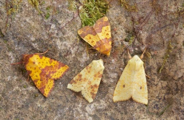 Sallow, Barred Sallow and Pink-barred Sallow comparison, Austerfield.