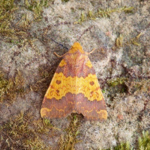 Tiliacea aurago - Barred Sallow, Austerfield.
