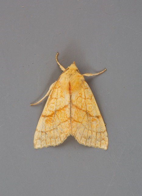 Tiliacea citrago - Orange Sallow, Austerfield.