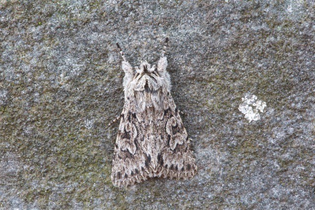 Xylocampa areola - Early Grey, Austerfield.