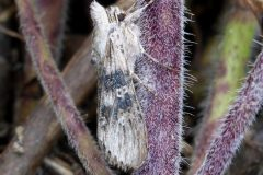Cucullia absinthii - Wormwood - Kirk Smeaton
