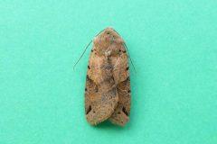 Agrochola litura - Brown-spot Pinion , Kirk Smeaton