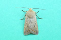 Agrochola macilenta - Yellow-line Quaker, Kirk Smeaton