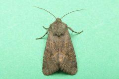 Aporophyla lutulenta -  Deep-brown Dart, Kirk Smeaton