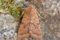 Agrochola circellaris - The Brick, Austerfield.
