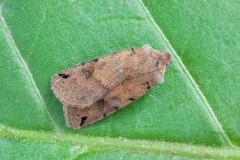Agrochola litura - Brown-spot Pinion, Austerfield.