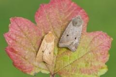 Agrochola macilenta - Yellow-line Quaker, Austerfield.