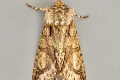 Allophyes oxyacanthae - Green-brindled Crescent, Austerfield.