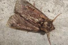Allophyes oxyacanthae - Green-brindled Crescent, Cusworth Lane, Doncaster