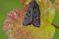 Aporophyla nigra - Black Rustic, Austerfield.