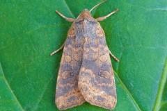Cirrhia gilvago - Dusky-lemonSallow, Austerfield.