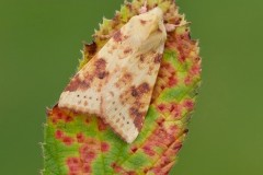 Cirrhia icteritia - The Sallow, Austerfield.