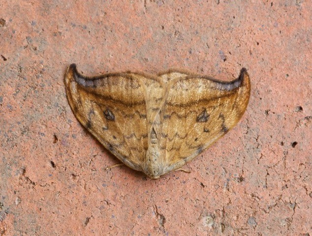 Drepana falcataria - Pebble Hook-tip, Woodside Nurseries, Austerfield.
