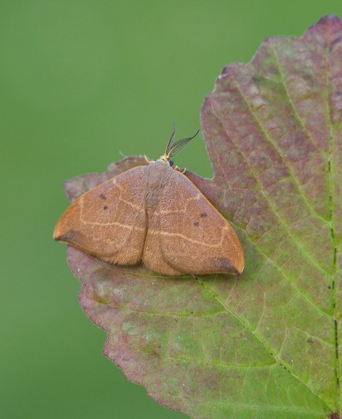 Watsonalla binaria - Oak Hook-tip, Woodside Nurseries, Austerfield.