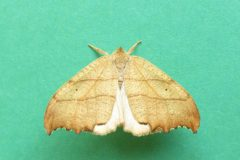 Falcaria lacertinaria - Scalloped Hook-tip -  Kirk Smeaton