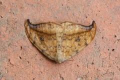 Drepana falcataria - Pebble Hook-tip, Woodside Nurseries, Austerfield.