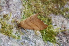 Falcaria lacertinaria - Scalloped Hook-tip, Woodside Nurseries, Austerfield.