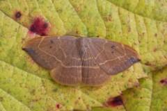 Watsonalla binaria - Oak Hook-tip, Woodside Nurseries, Austerfield.