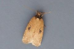 Agonopterix - subpropinquella f.rhodochrella, Woodside Nurseries, Austerfield.