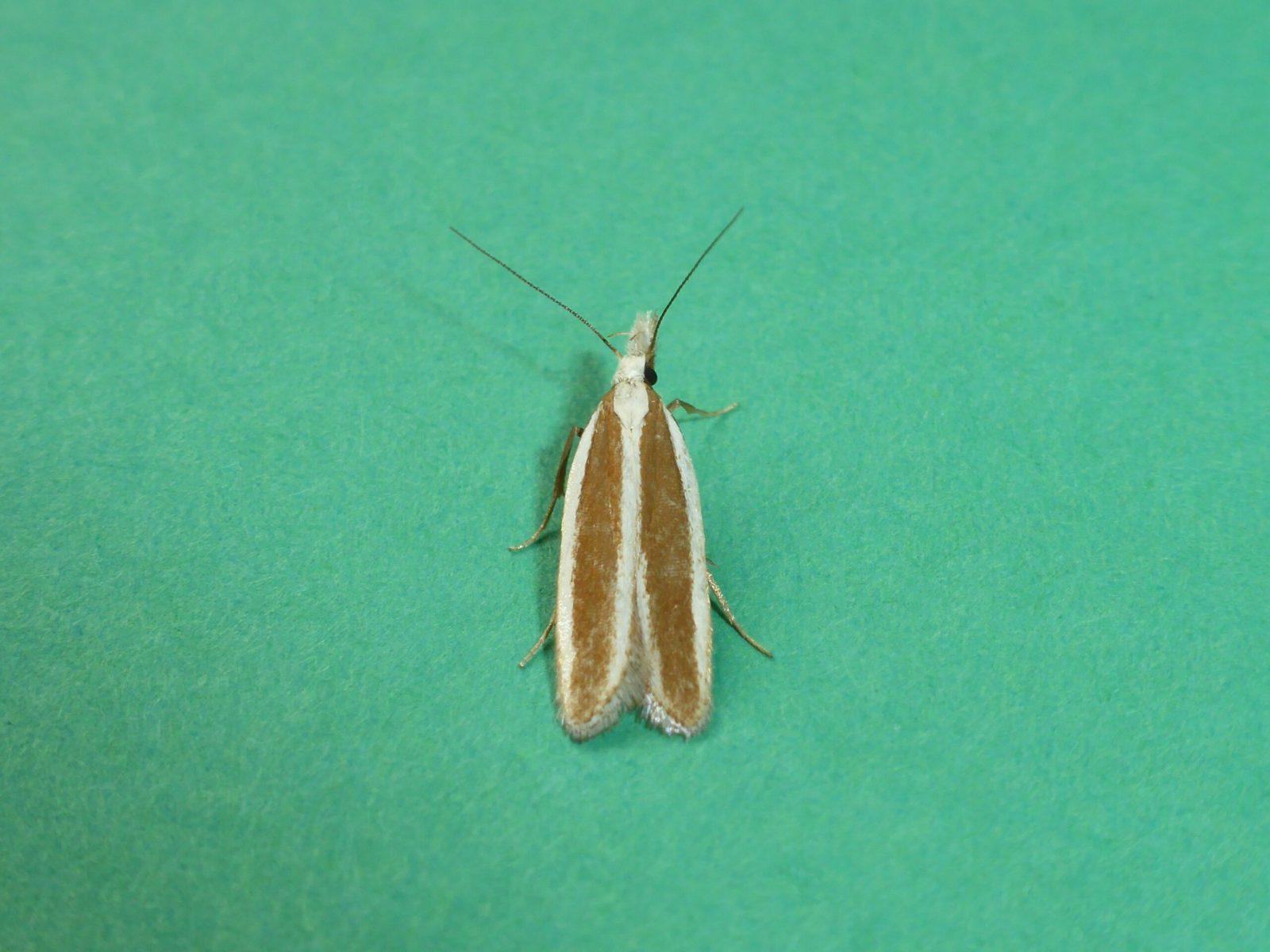 Dichomeris marginella - Juniper Webber - Kirk Smeaton