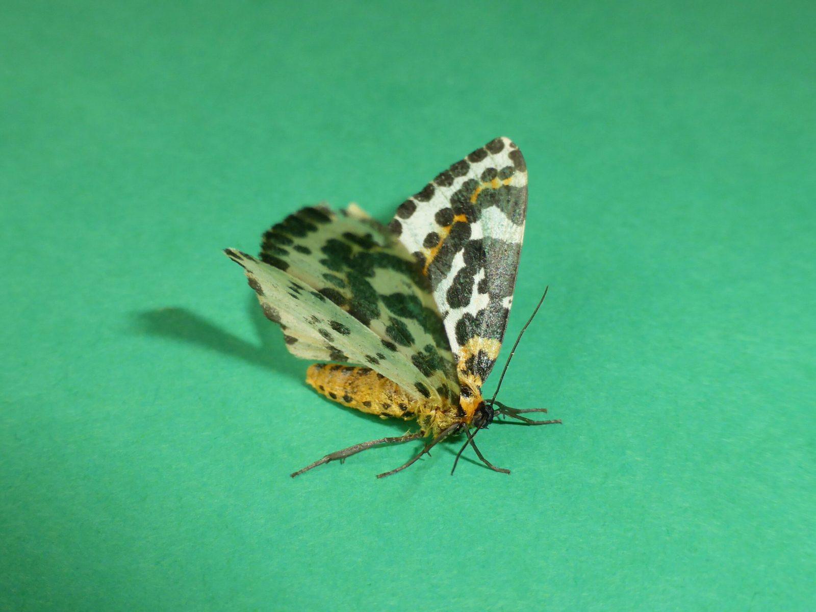 Abraxas grossulariata - Magpie Moth - Kirk Smeaton