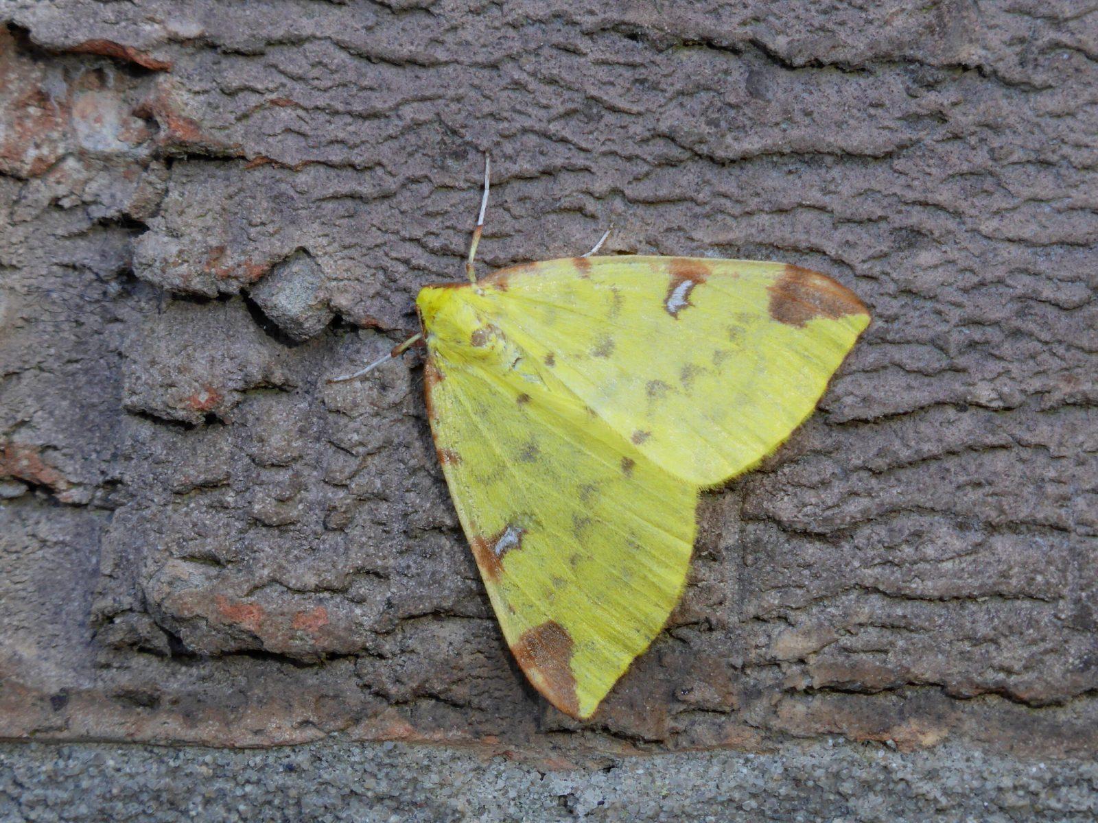 Opisthograptis luteolata - Brimstone Moth, Kirk Smeaton